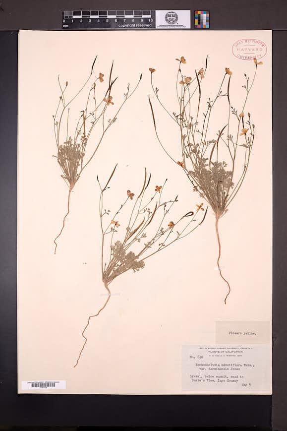 Eschscholzia covillei image