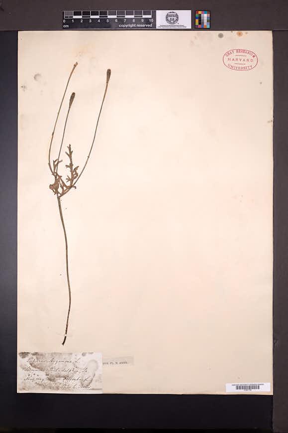 Papaver argemone image