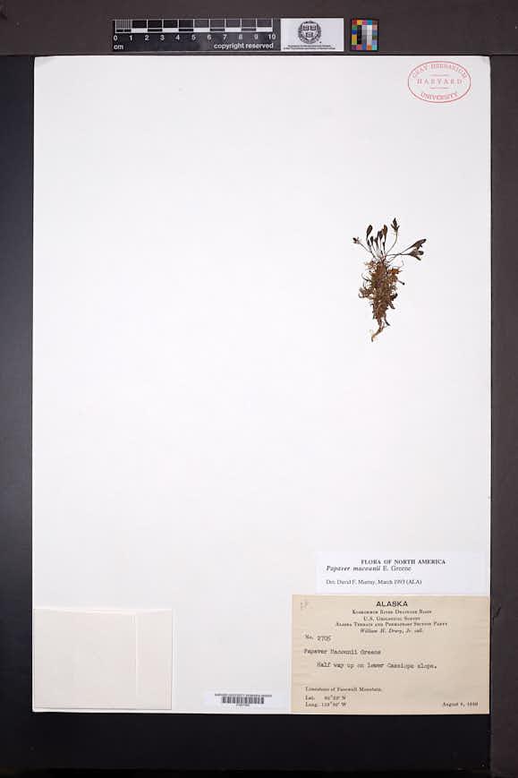Papaver macounii image