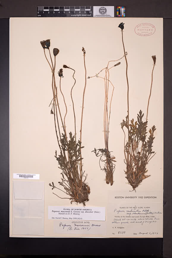 Papaver macounii subsp. discolor image