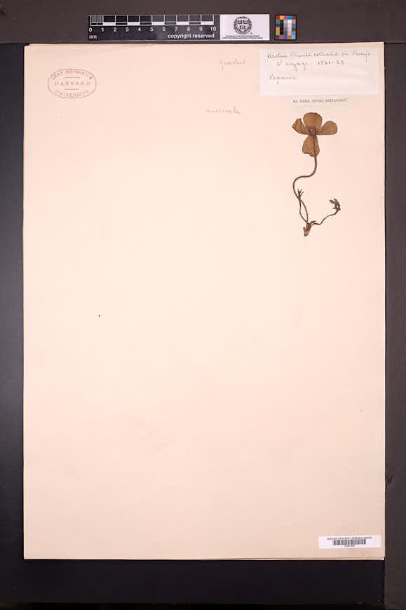 Papaver nudicaule image