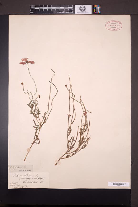 Papaver rhoeas image