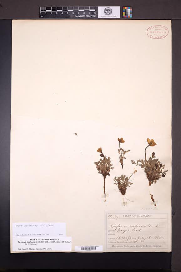 Papaver uintaense image