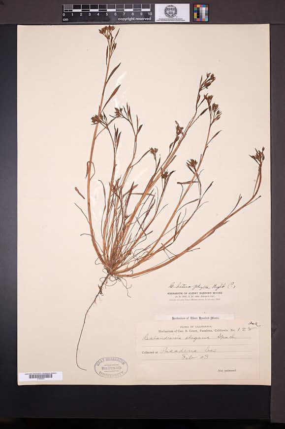 Image of Calandrinia heterophylla