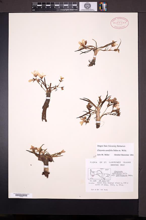 Claytonia acutifolia image