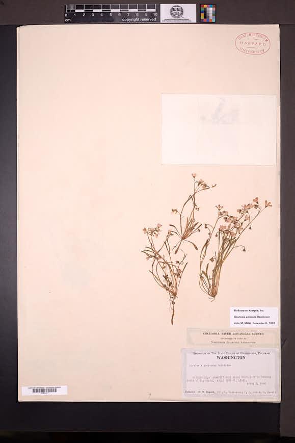 Claytonia arenicola image