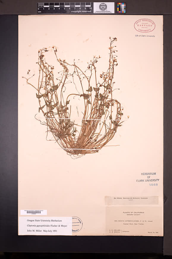 Claytonia gypsophiloides image