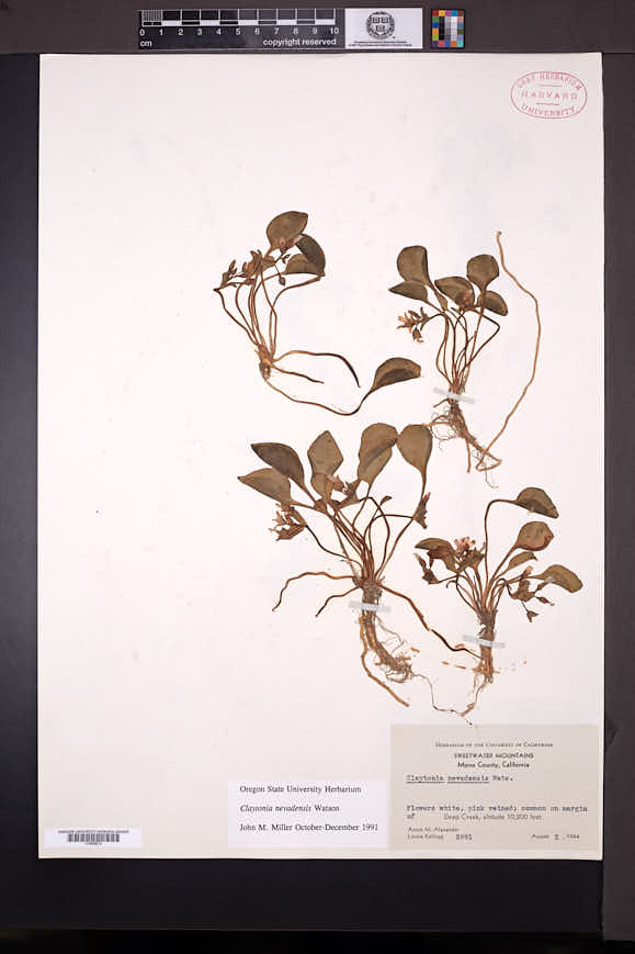 Claytonia nevadensis image