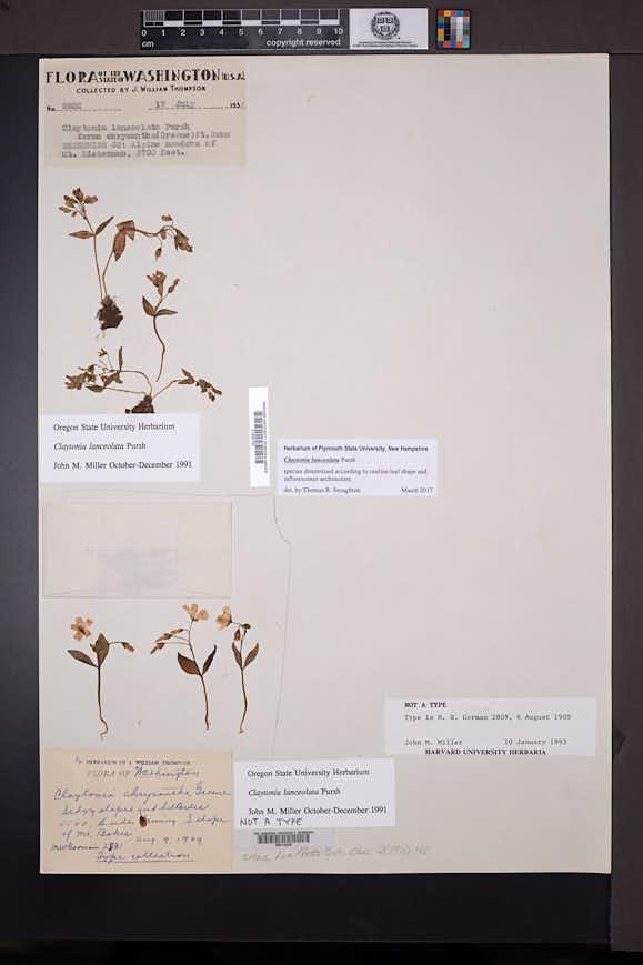 Claytonia chrysantha image