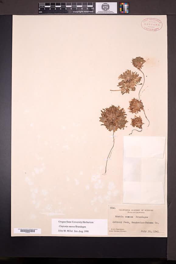 Claytonia saxosa image
