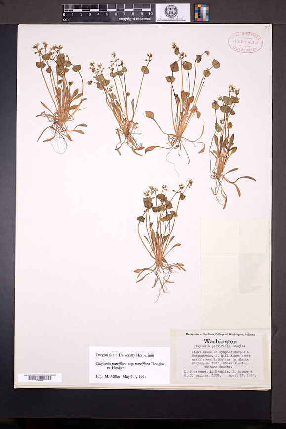 Claytonia parviflora image