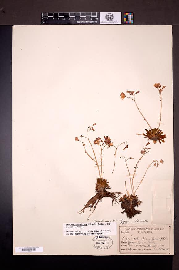 Lewisia columbiana image