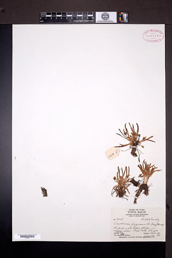 Lewisia pygmaea image