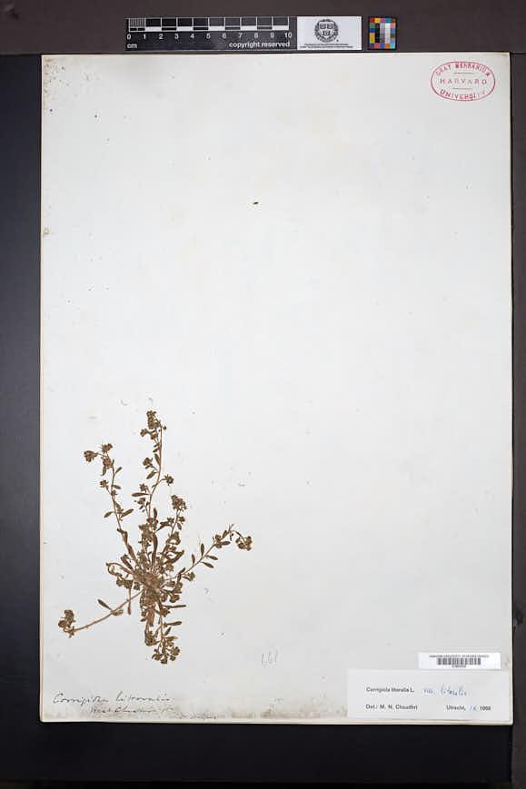 Corrigiola litoralis image