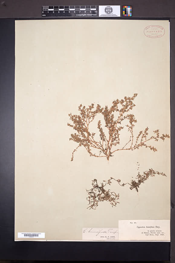 Cypselea humifusa image