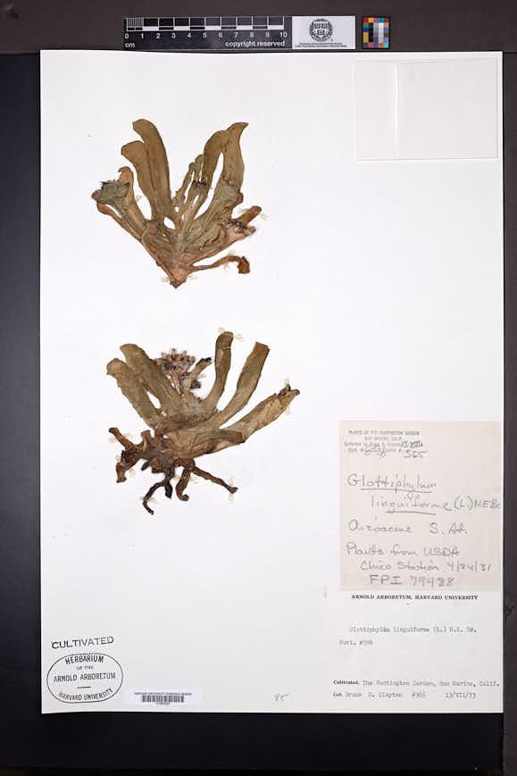 Image of Glottiphyllum linguiforme