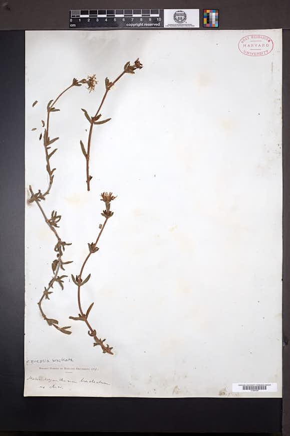 Image of Erepsia bracteata
