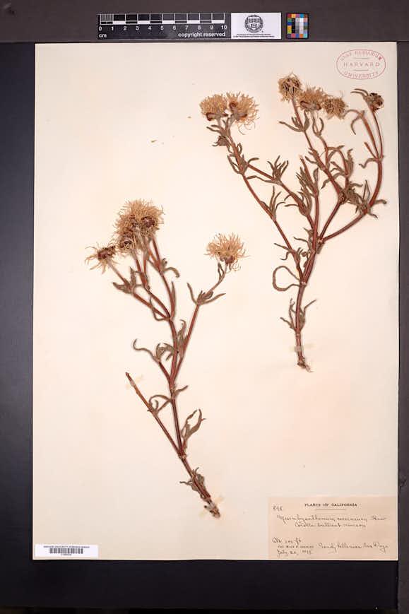 Image of Lampranthus coccineus