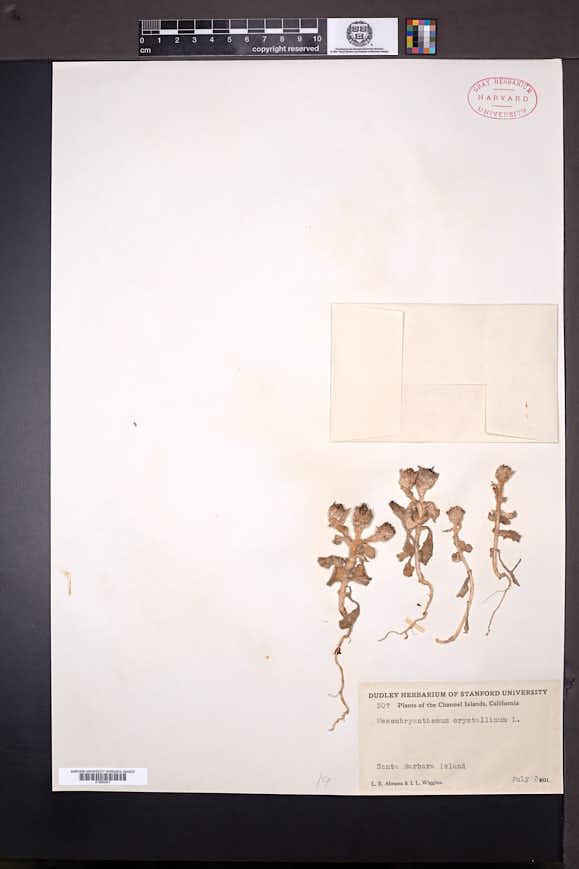 Mesembryanthemum crystallinum image