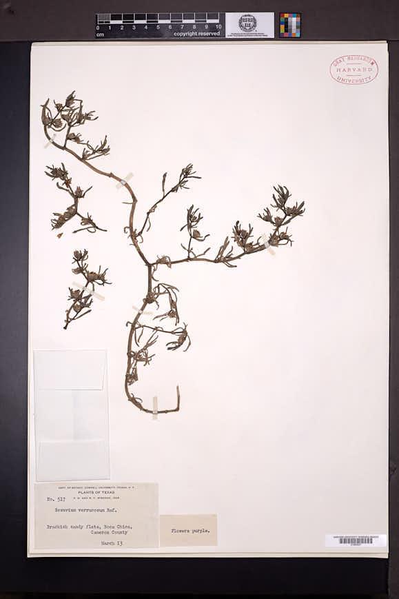 Sesuvium verrucosum image