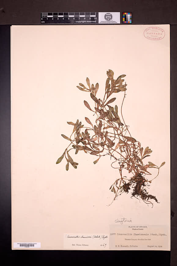 Montia chamissoi image