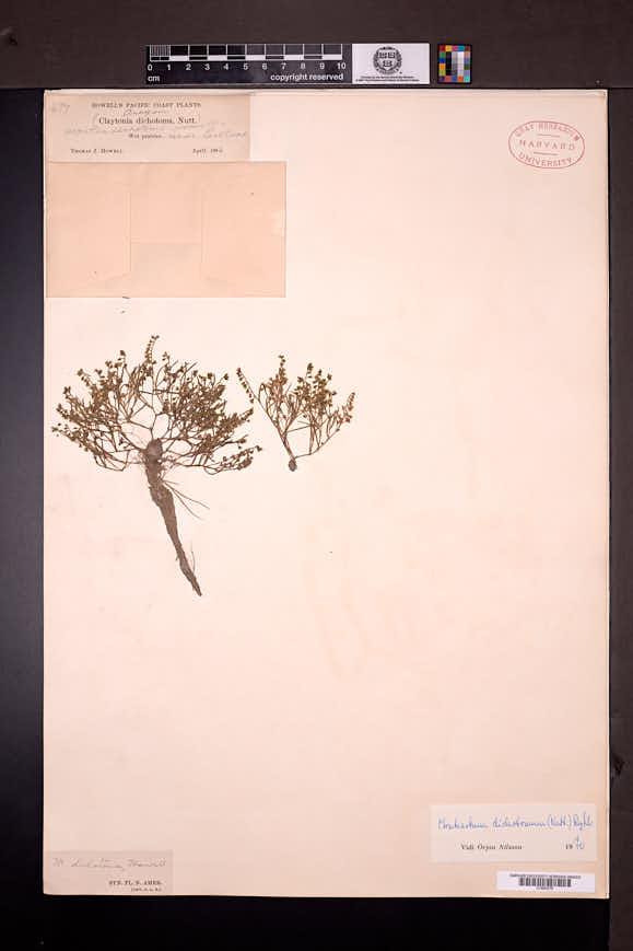 Image of Montia dichotoma