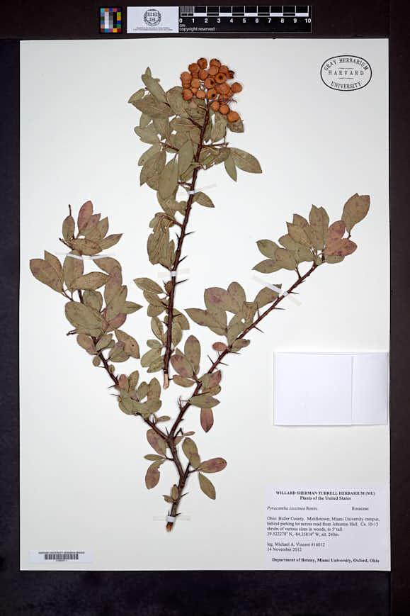Pyracantha coccinea image
