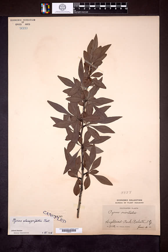 Image of Pyrus elaeagnifolia