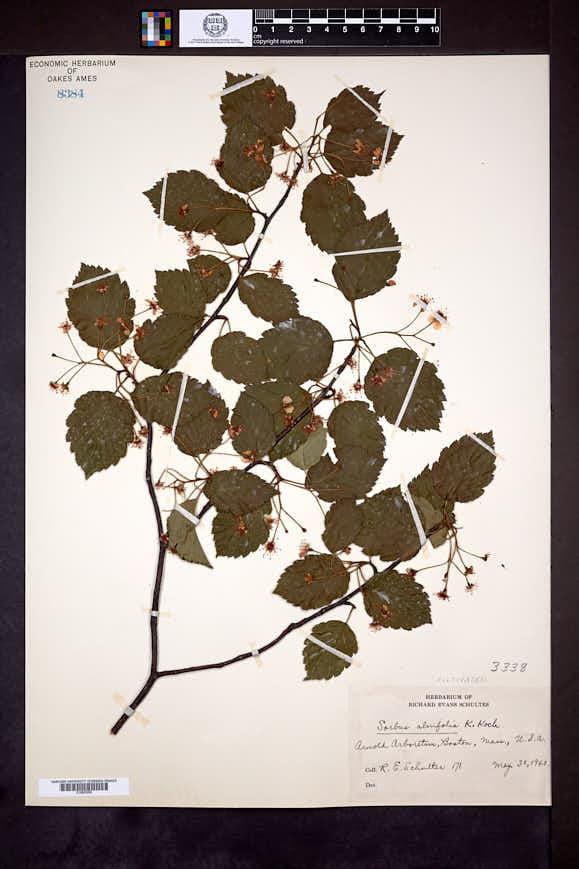 Sorbus alnifolia image