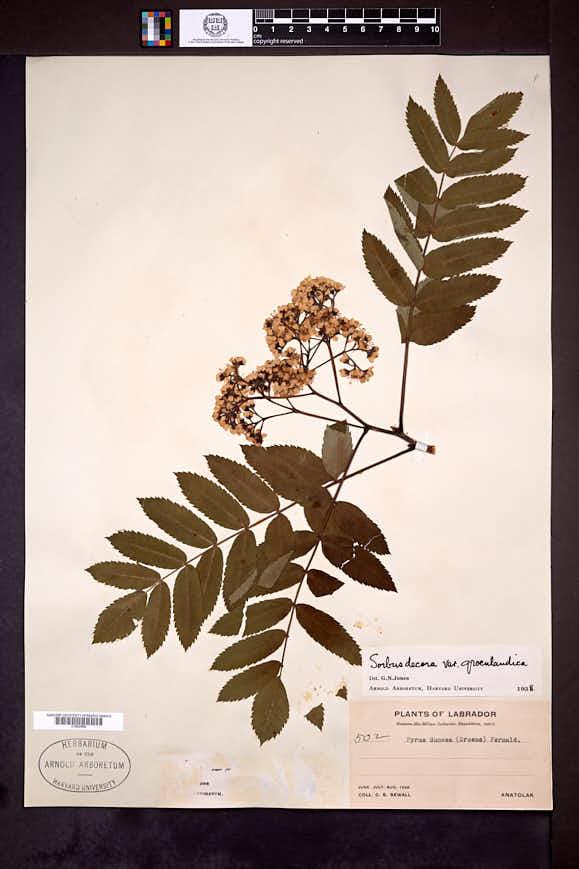 Sorbus decora image