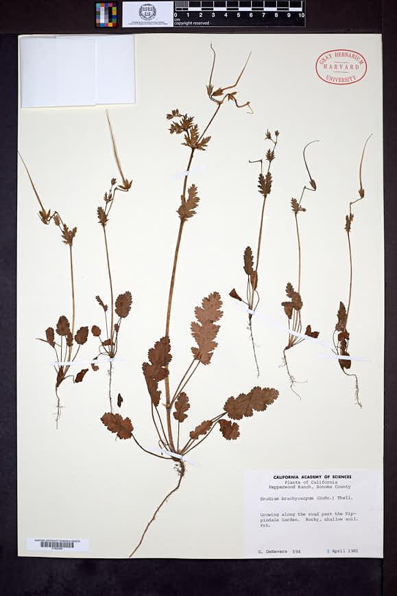 Erodium brachycarpum image