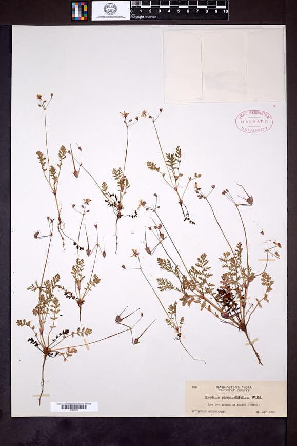 Erodium cicutarium subsp. cicutarium image