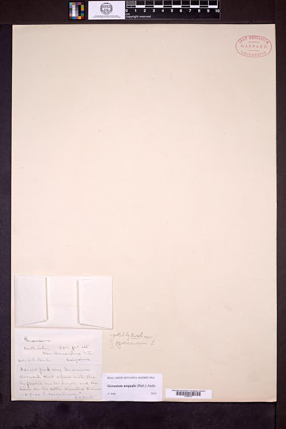 Image of Geranium aequale
