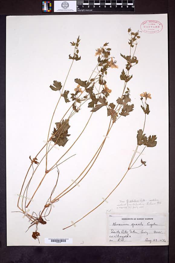 Image of Geranium albidum