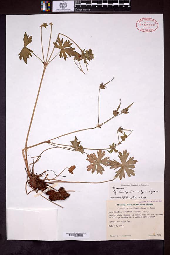 Image of Geranium californicum