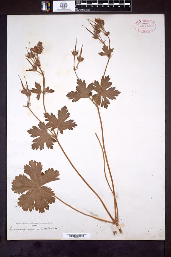 Geranium platyanthum image