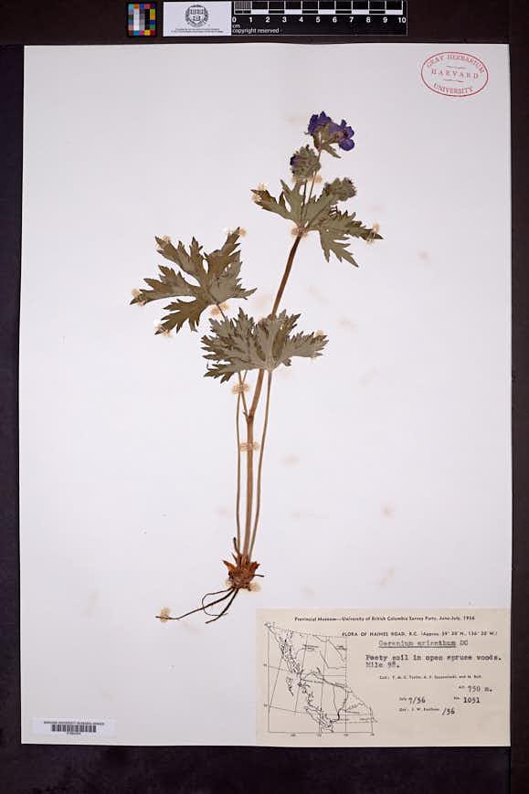 Geranium erianthum image