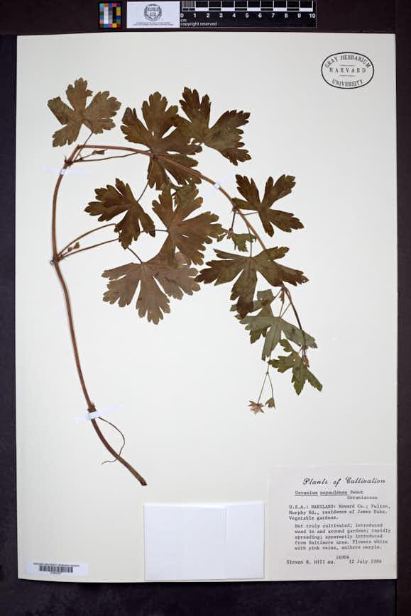 Geranium nepalense image