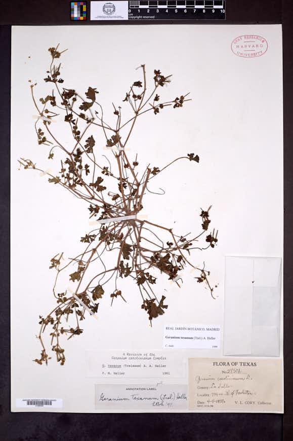 Geranium texanum image