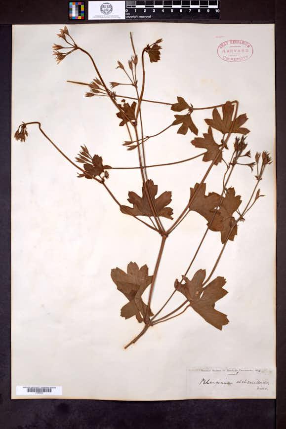 Image of Pelargonium alchemilloides