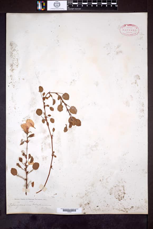 Image of Pelargonium betulinum
