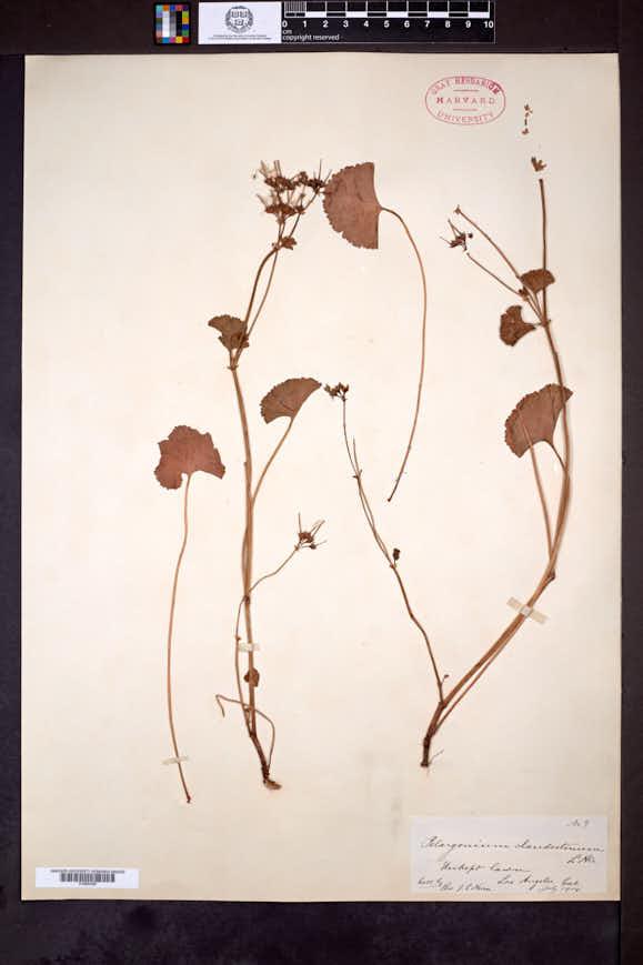Image of Pelargonium inodorum