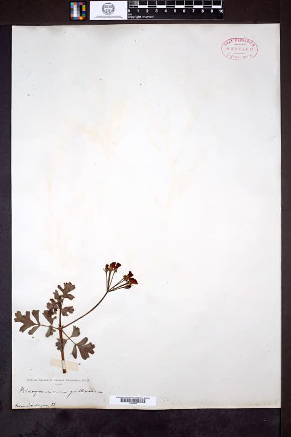Image of Pelargonium gibbosum