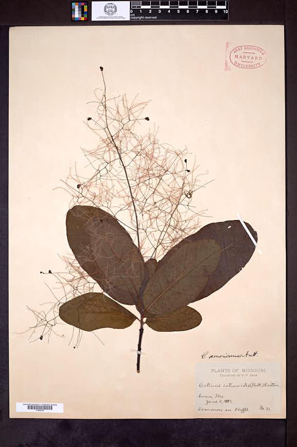 Cotinus americanus image