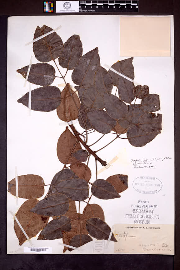 Metopium toxiferum image