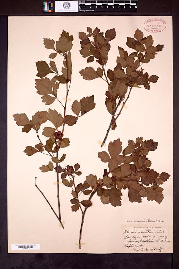 Rhus aromatica var. arenaria image