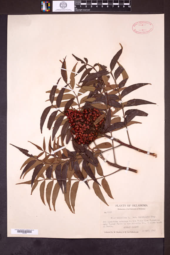 Rhus lanceolata image