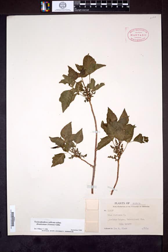 Toxicodendron radicans subsp. divaricatum image