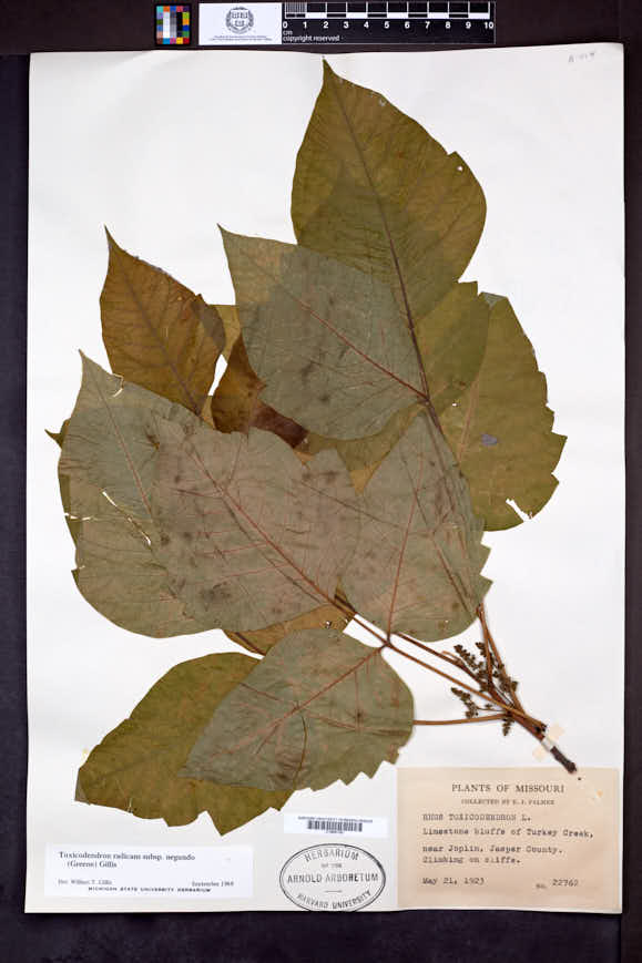 Toxicodendron radicans subsp. negundo image