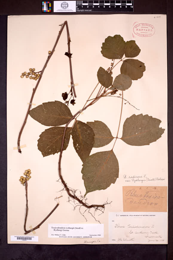 Toxicodendron rydbergii image
